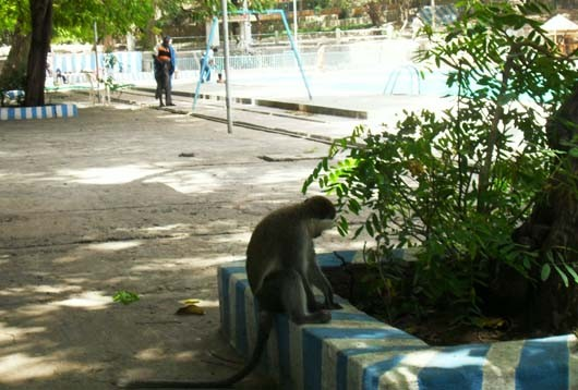 """Attention aux """"chapardeurs"""". Quand les singes volent de la nourriture dans les sacs des baigneurs, ce n'est pas grave, mais lorsqu'ils emportent  des sacs dans les arbres et dispersent leurs contenus ... (?)"""