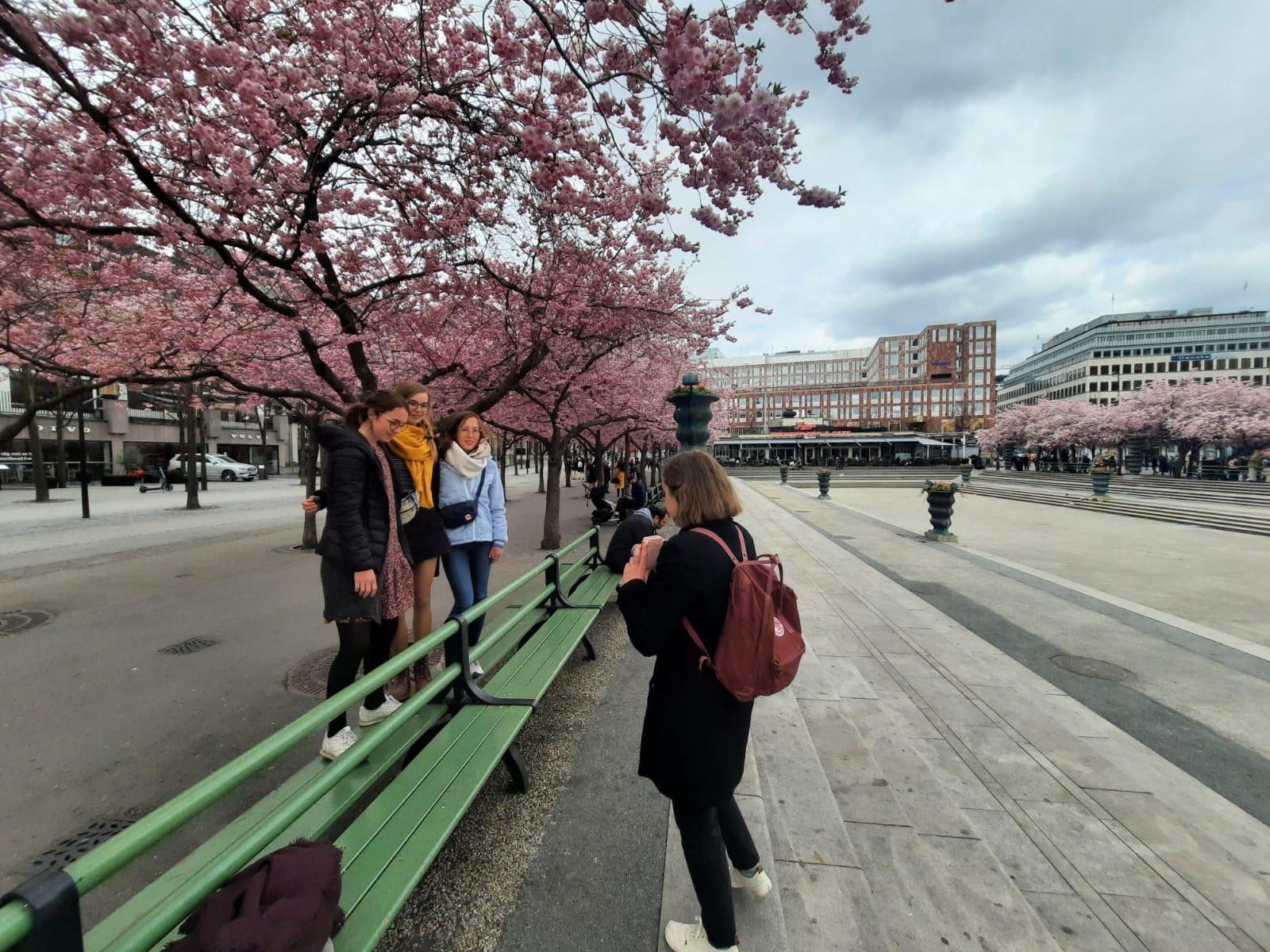 Kirschblüte in Schweden.