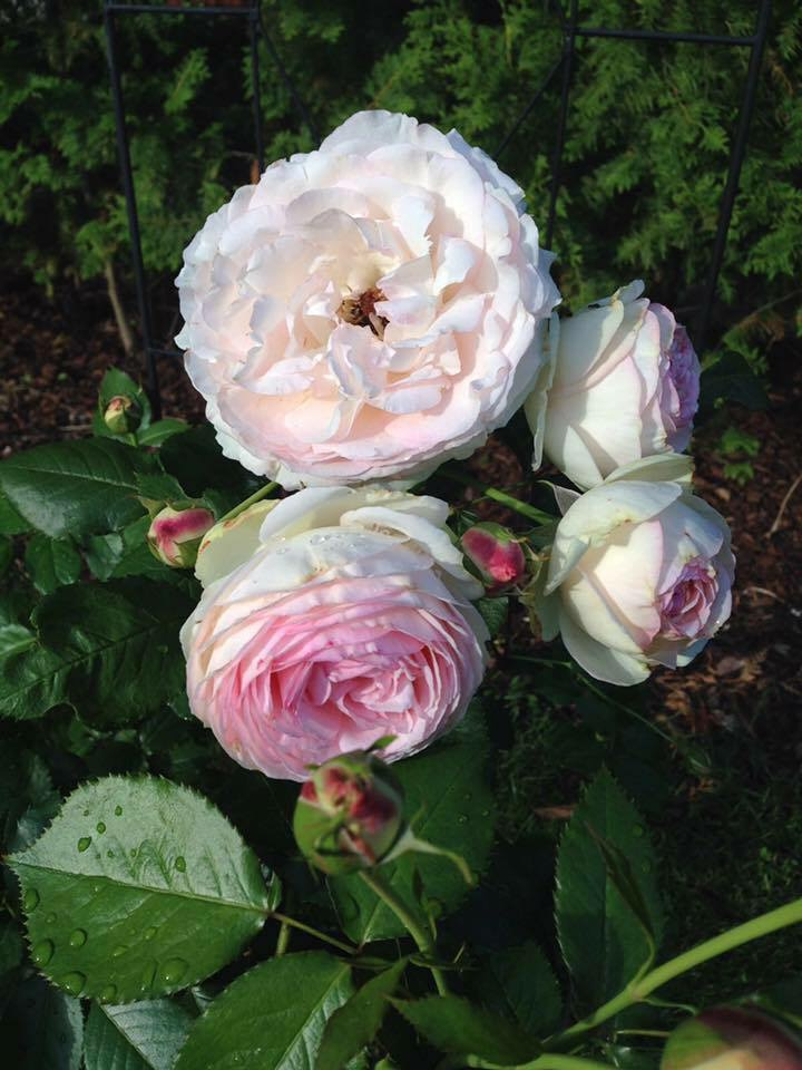 rose garten historische rose rosa