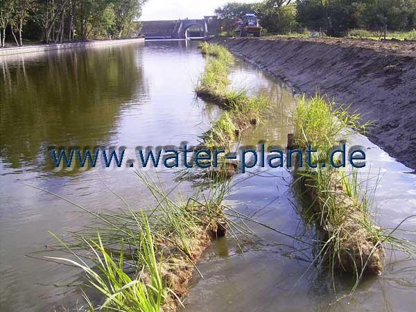 Schutz der Flachwasserzone mit Röhrichtwalzen