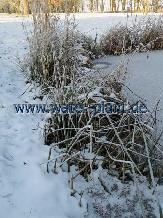 Das Röhricht bietet im Winter zahlreichen Tieren Schutz