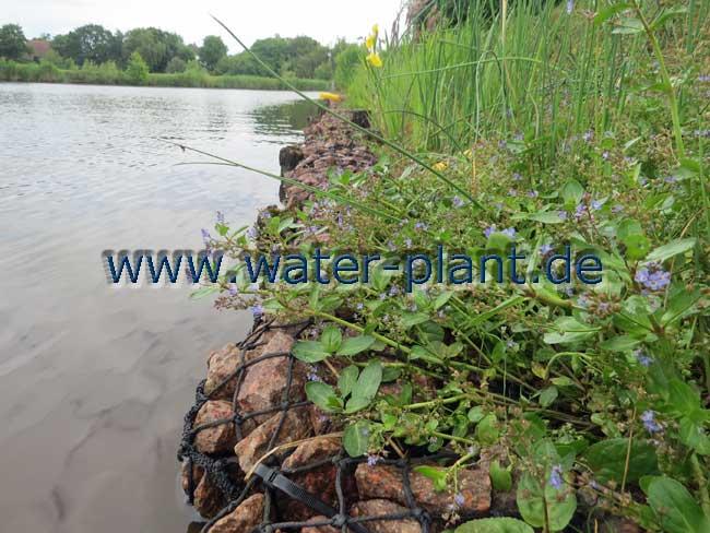 Die Pflanzen wachsen in die Steinwalze hinein