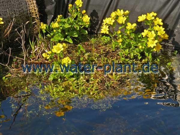 Sumpfdotterblume blühen im Frühjahr