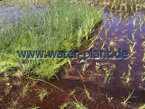 frisch gepflanzte und voll entwickelte Röhrichtmatten im Anzuchtbecken