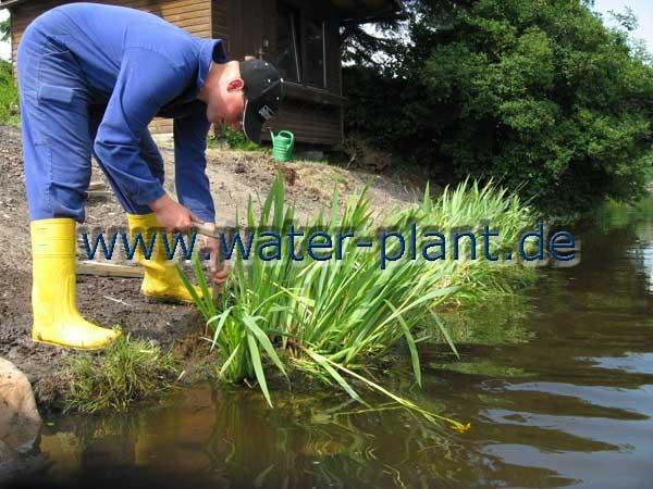 Sicherung des neu profilierten Ufers mit Röhrichtmatten