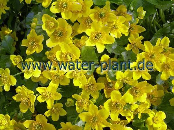 Sumpfdotterblumen blühen im Frühjahr leuchtend gelb.