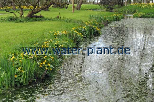 Frühjahrsaspekt mit Sumpfdotterblumen
