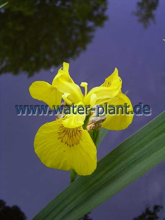 Iris pseudacorus (Sumpfschwertlilie) steht an den Ufern der Sohlgleite in schattigen Abschnitten