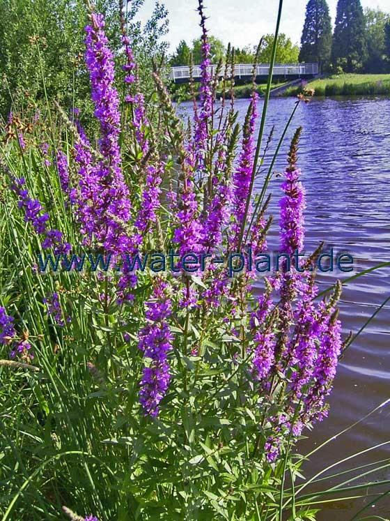 leuchtende Blüten am Ufer: Blutweiderich