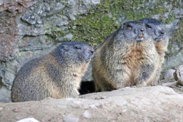 Murmeltiere im Natur- und Tierpark Goldau