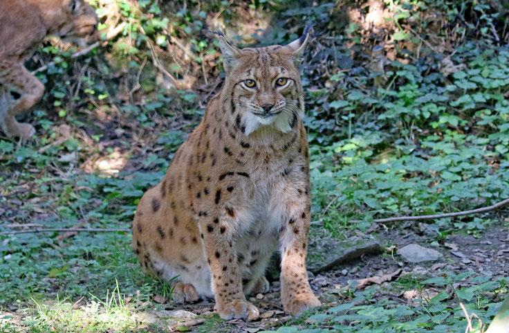 Luchs im Natur- und Tierpark Goldau