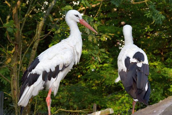 Weissstörche im Natur- und Tierpark Goldau