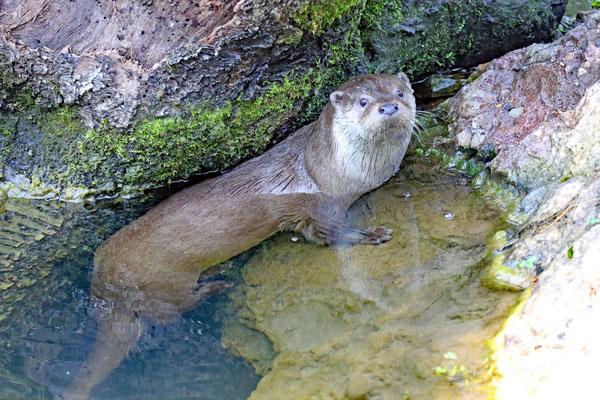 Fischotter im Natur- und Tierpark Goldau