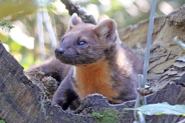Baummarder im Natur- und Tierpark Goldau