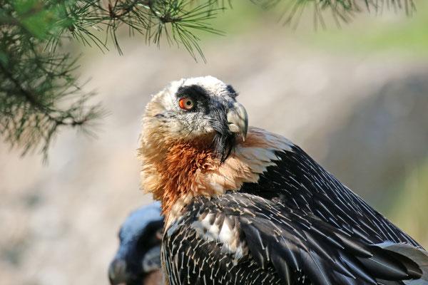 Bartgeier im Natur- und Tierpark Goldau