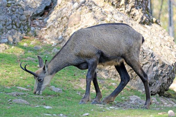 Gämse im Natur- und Tierpark Goldau