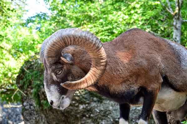 Mufflon im Natur- und Tierpark Goldau