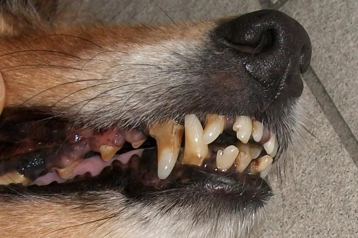 Bei diesem Sheltie mussten 9 vereiterte Zähne gezogen werden. Der Sheltie hatte große Schmerzen und konnte kaum mehr sein Futter essen.Lassen Sie es erst nicht soweit kommen.Lieber einmal im Jahr die Zähne beim Tierarzt reinigen lassen!