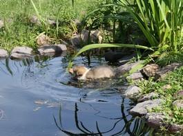 Duffy im Wasser