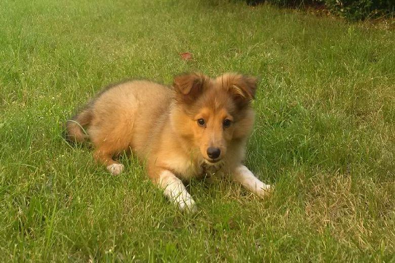 """Indian Sammy - seine Besitzer bekommen viel Lob von anderen Hundehaltern, weil er trotz """"Welpe"""" ziemlich mutig, besonnen und ausgeglichen ist."""