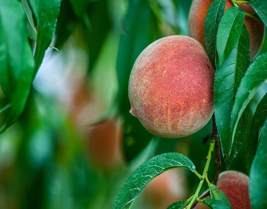 Vierte werden die Pfirsiche