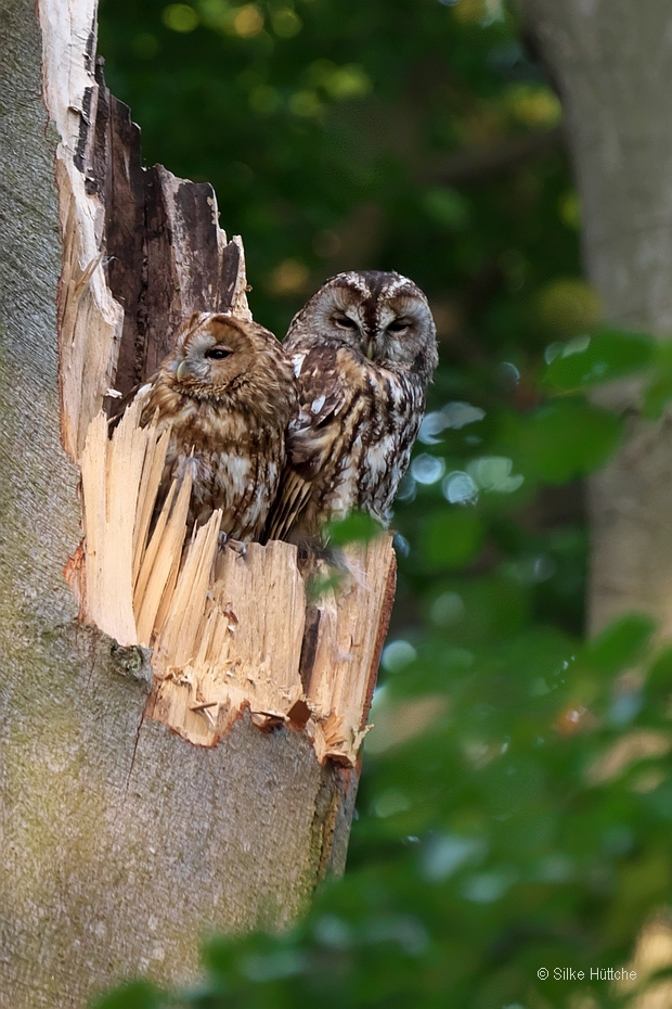 Waldkauzpaar