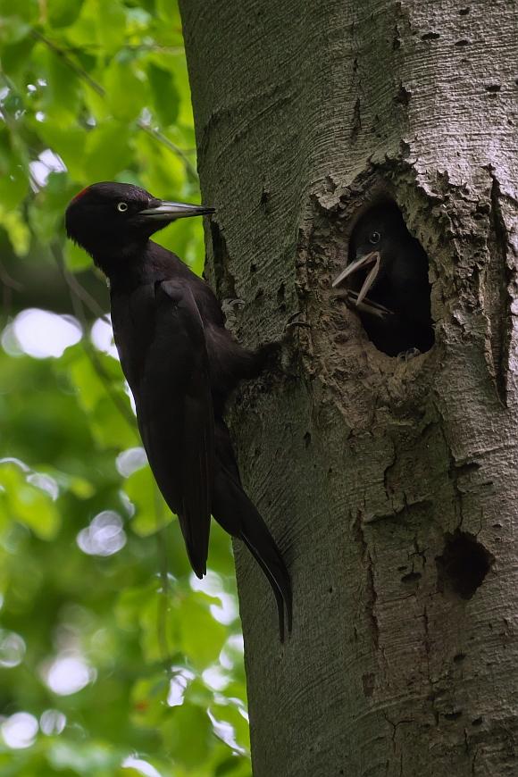 Schwarzspecht ♀ bei der Fütterung