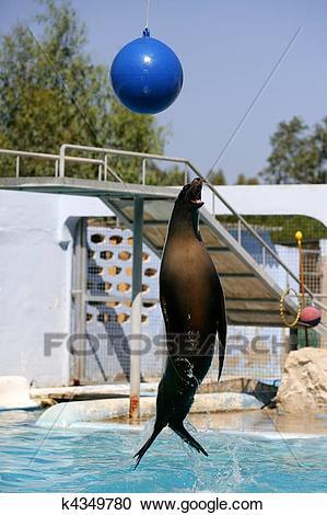 Seehund, Sprung aus dem Wasser