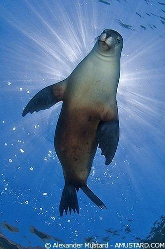 Unterwasserbild eines Seelöwen