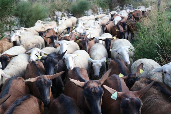 """Chèvres et Brebis en """"transhumance"""" d'un pré à l'autre"""