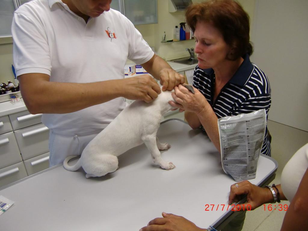 ... Dr. Haider versorgt die Einstichstelle von der Chip-Nadel bei Coco