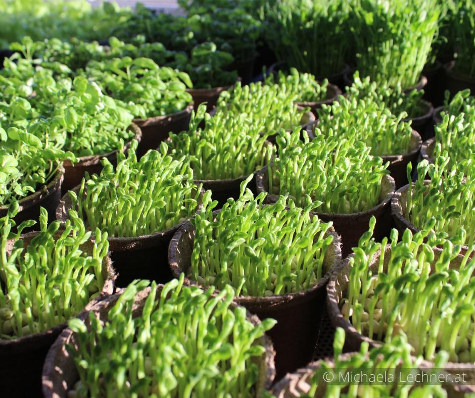 Microgreens: Klein, grün und kraftvoll