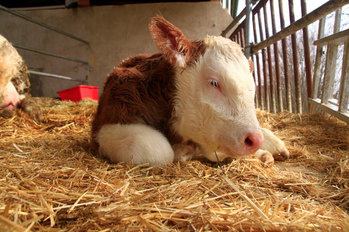 Ein Kälbchen ist geboren.