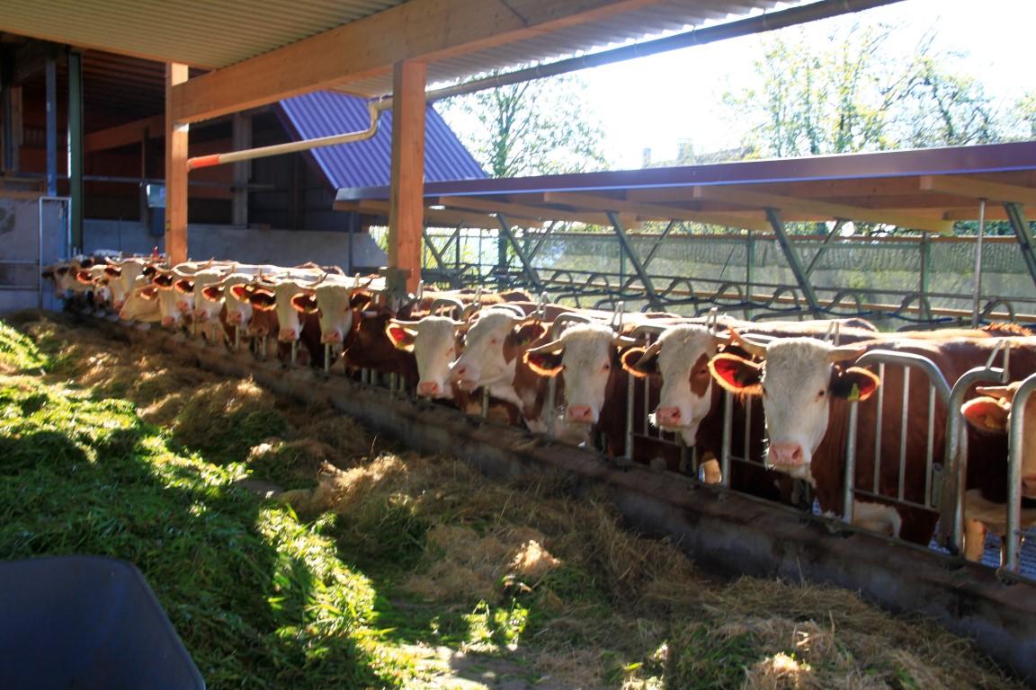 Unsere Heumilchkühe schauen sich den Bauern beim Fotografieren an.