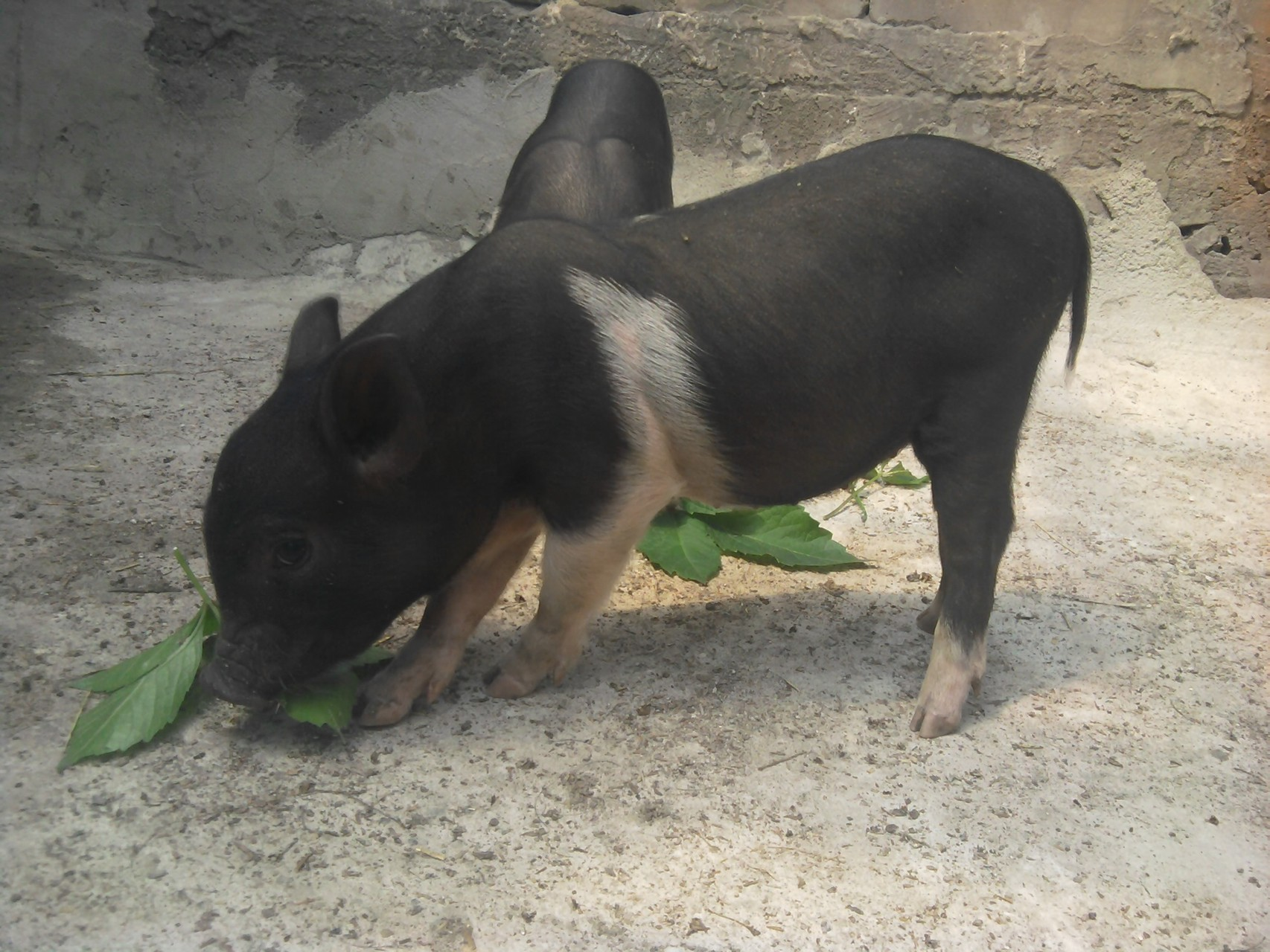 Вьетнамские свиньи на дачном участке