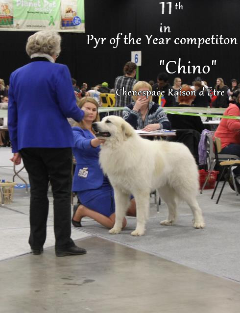 Pyr of the year competition! - Kennel Mountain's Pearl, Finland