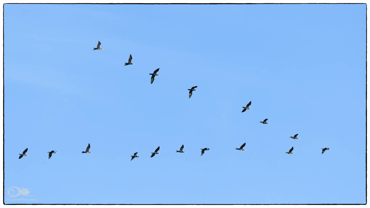 Flug der Kormorane