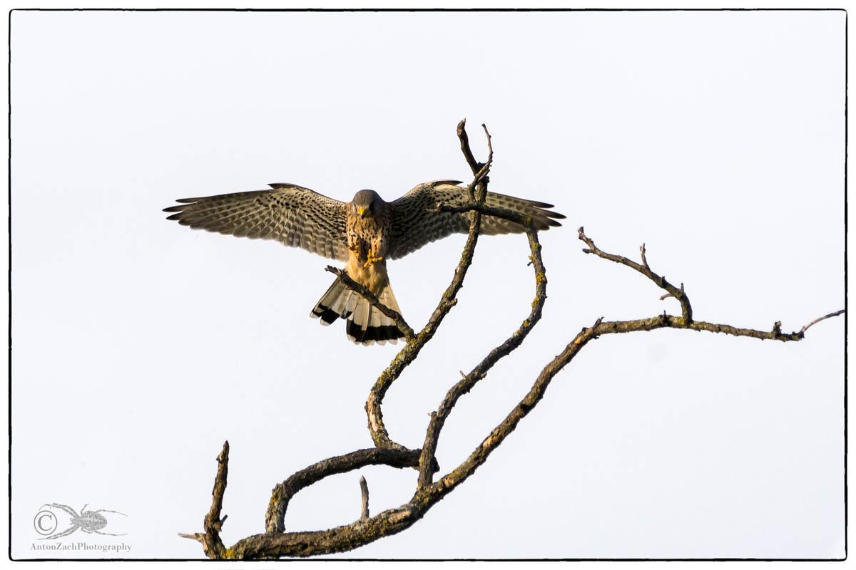 Turmfalke - Männchen