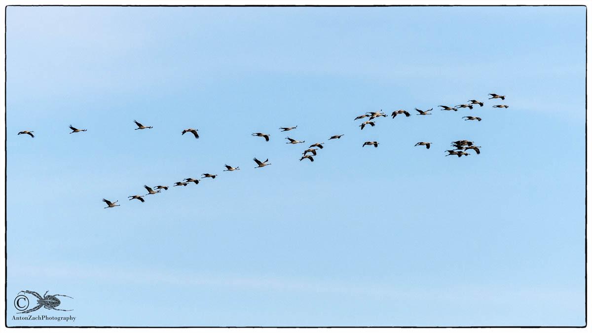 Flug der Kraniche