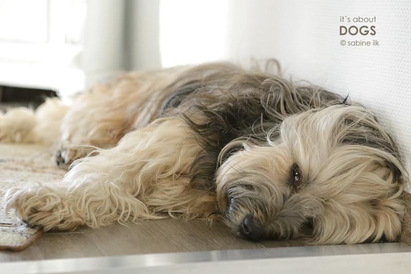 Chiru liebt glatte Böden und schubst sogar den Teppich zur Seite.