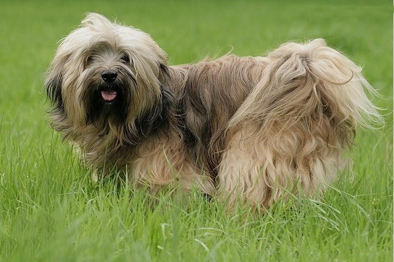 Tibet Terrier zählen zu den Hütehunden