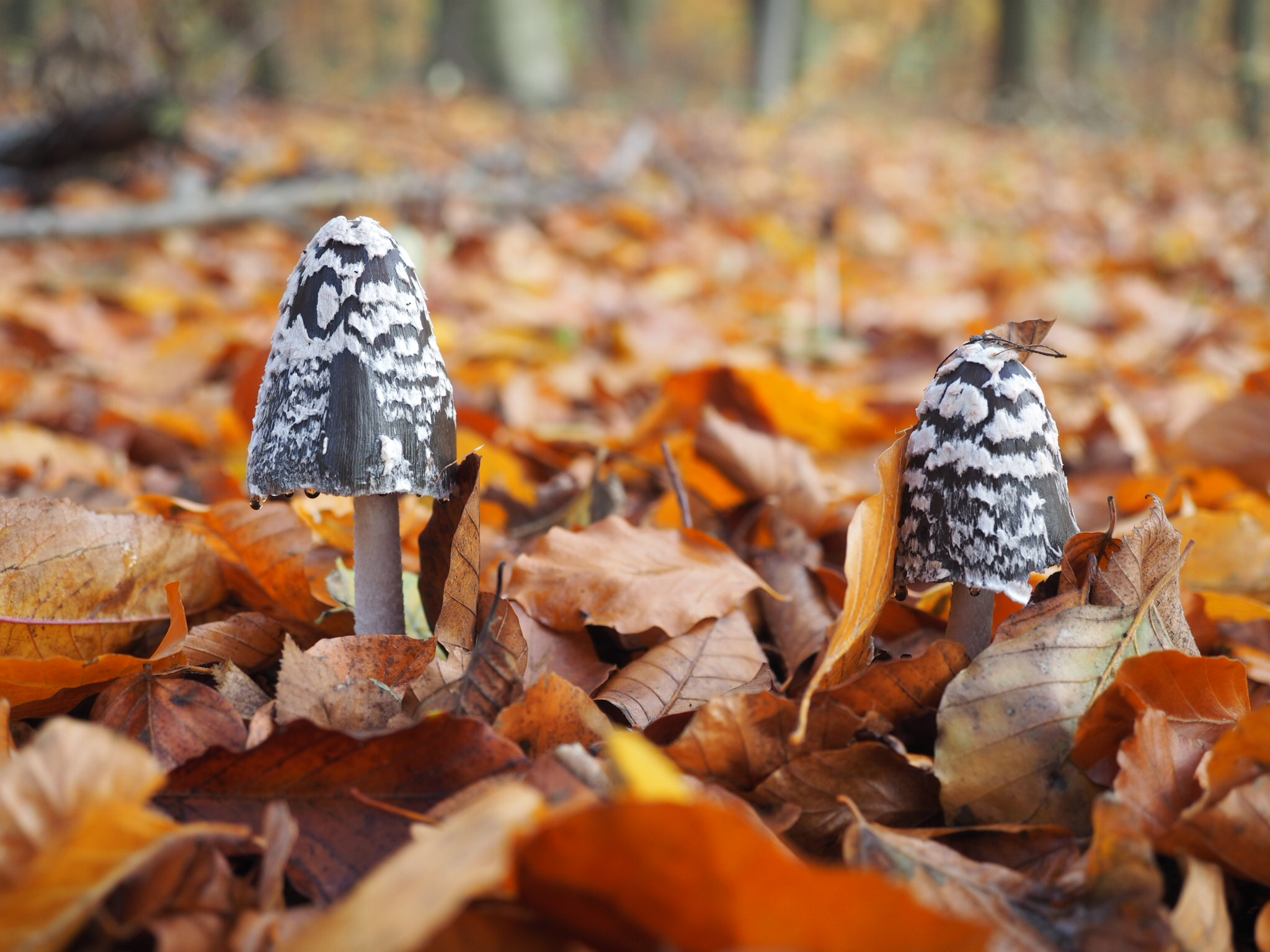 Specht  Tintling (Coprinopsis picacea)