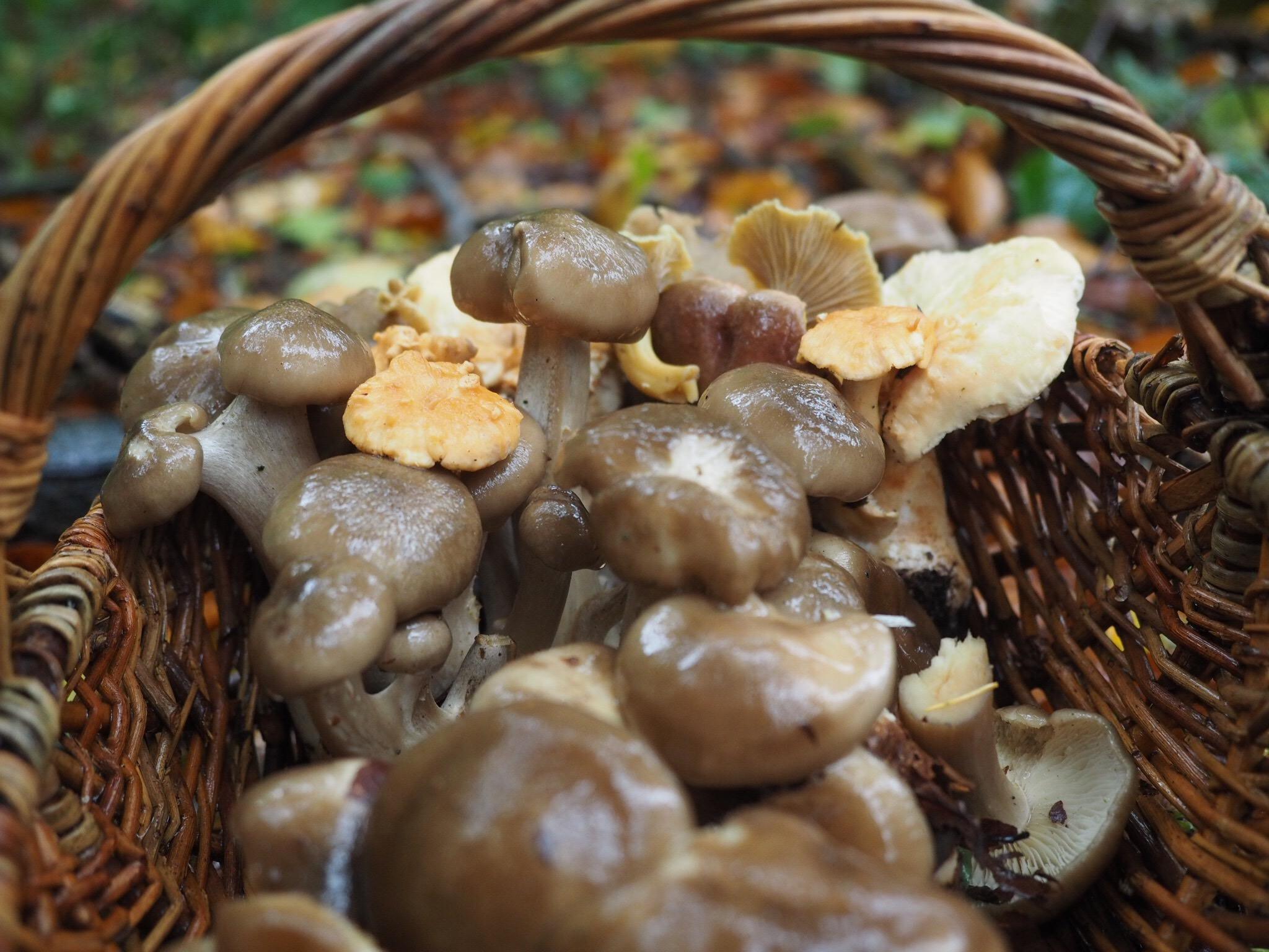 Büschelige Rasling (Lyophyllum decastes)