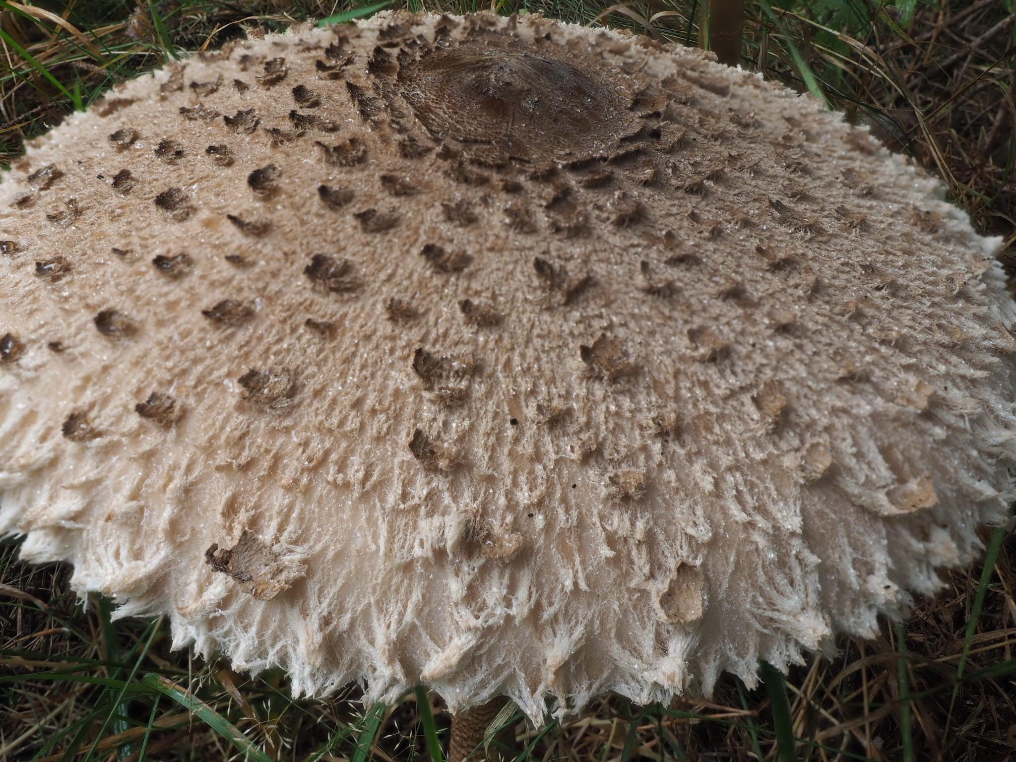 Riesenschirmpilz (Macrolepiota procera) Schuppiger Hut