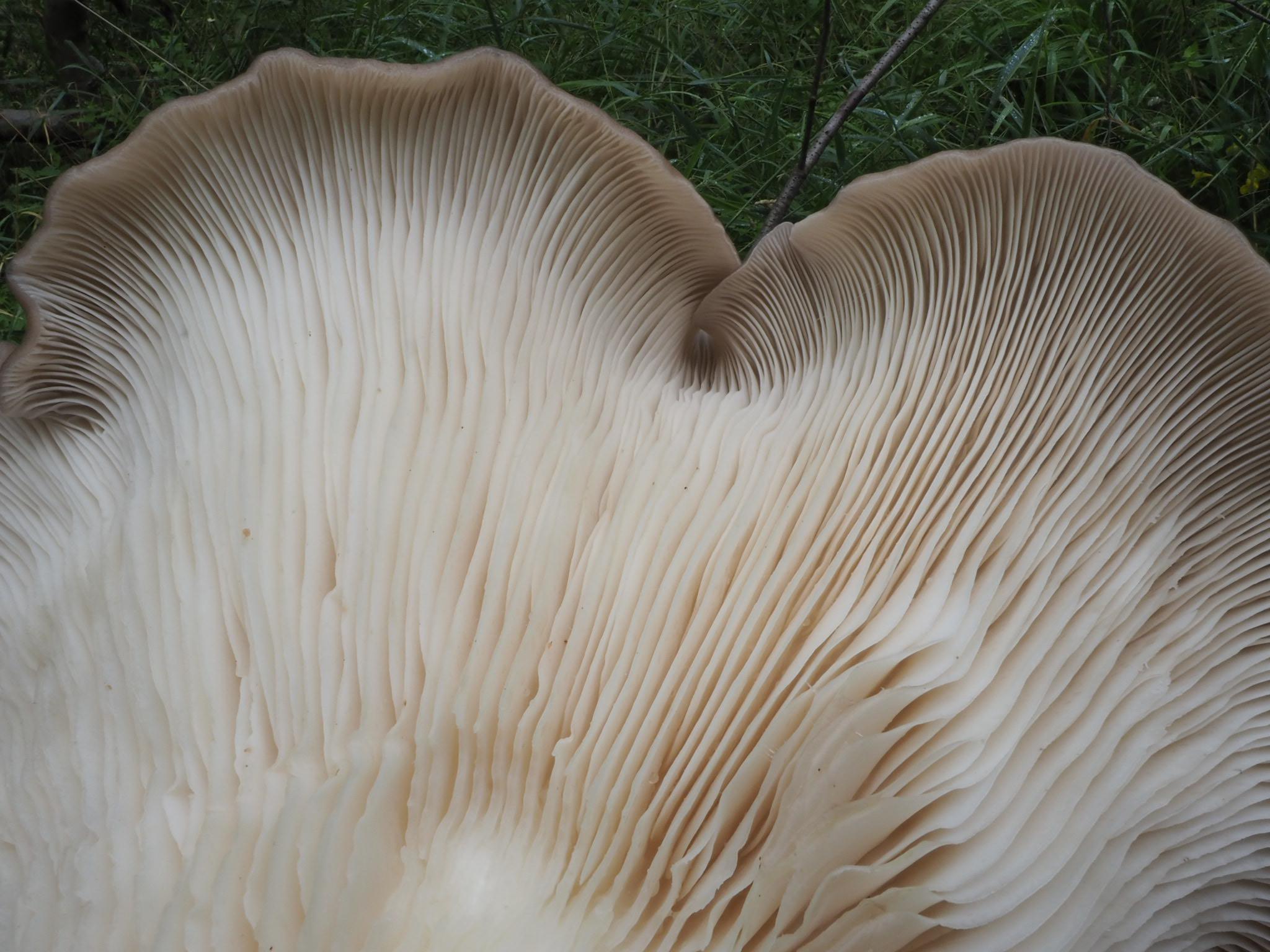 Austern-Seitling (Pleurotus ostreatus) Hutunterseite