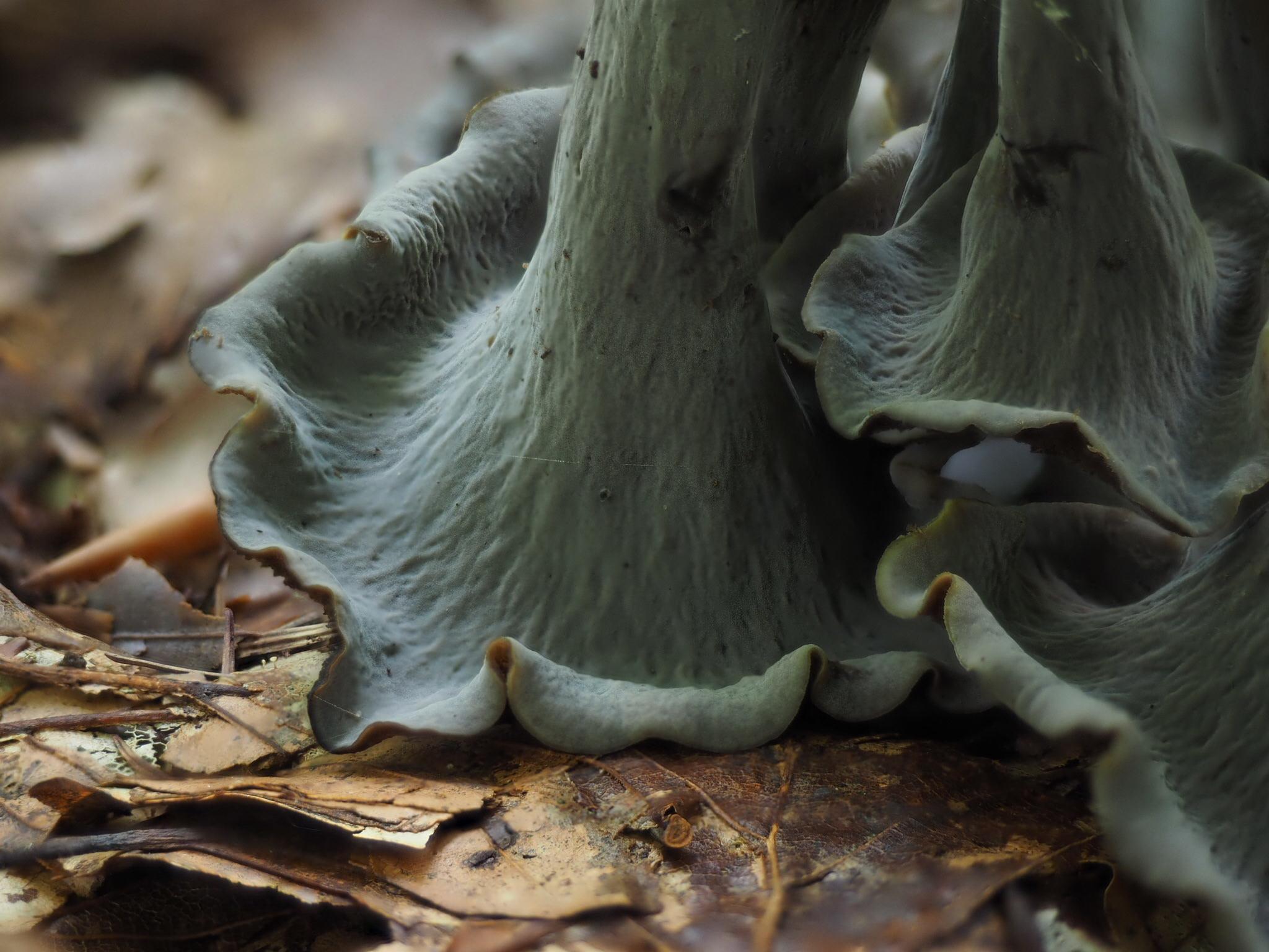 Herbsttrompete (Craterellus cornucopioides) Unterseite