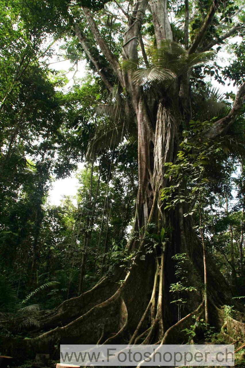 Urwaldriese Ficus