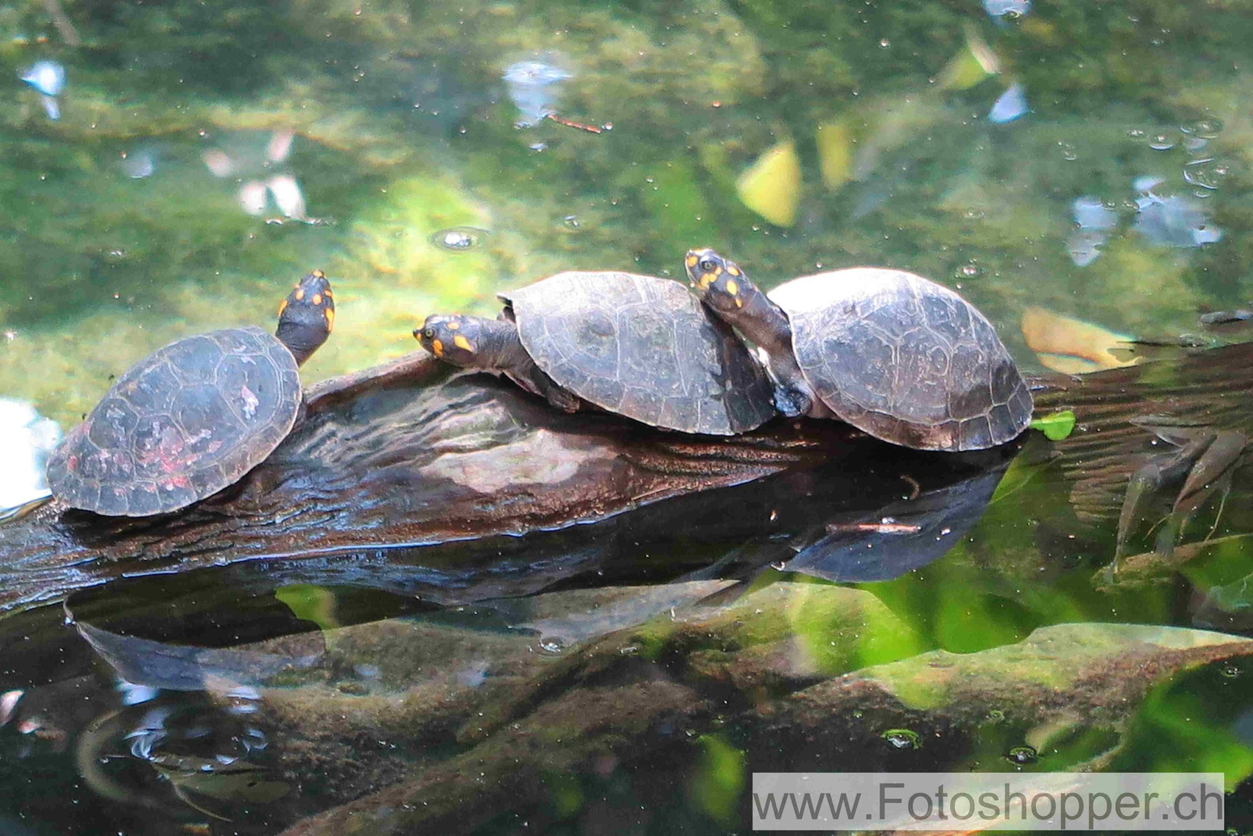Schützenswerte Schidkröten
