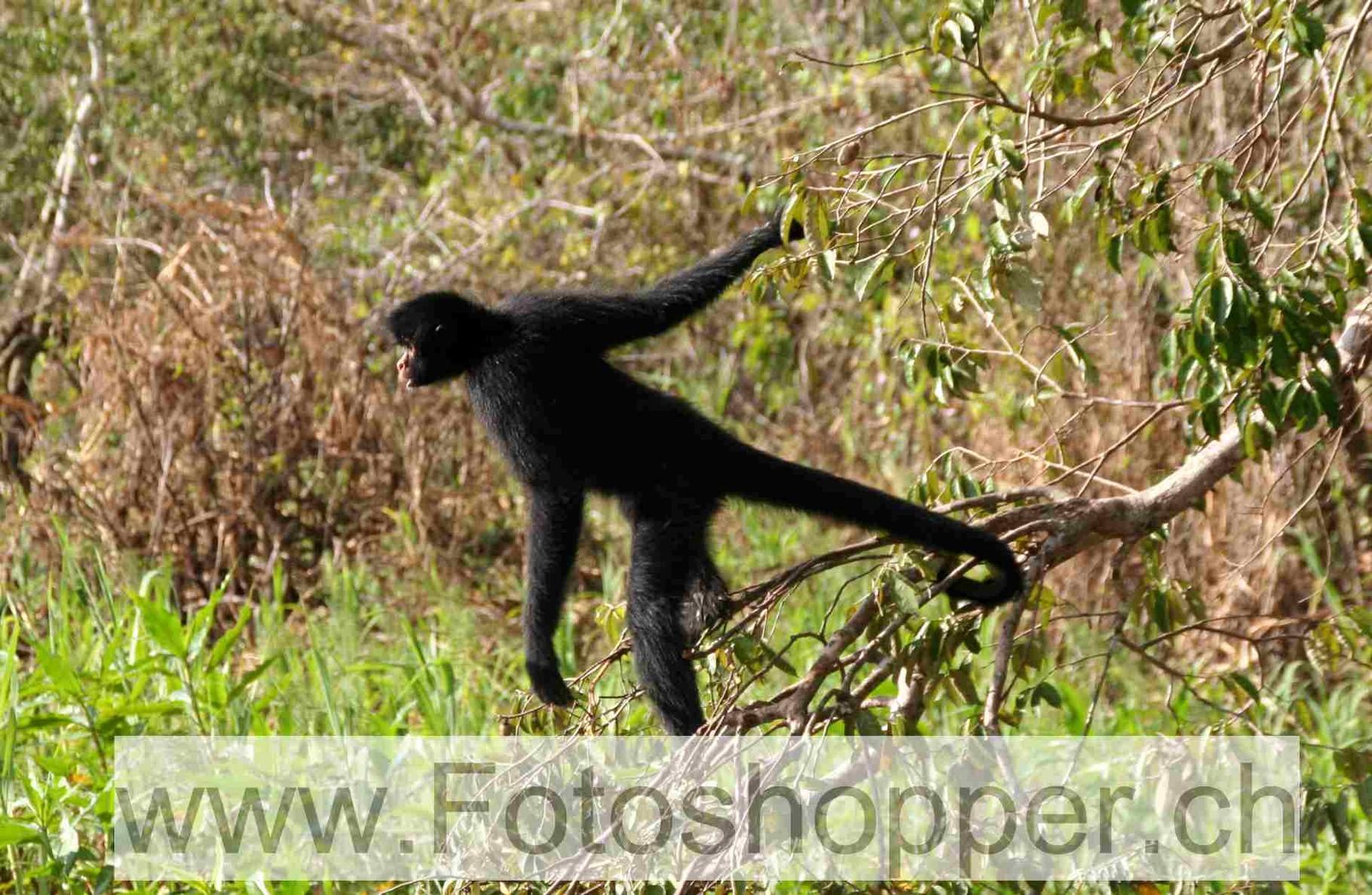 Apider-Affe wartet auf Bananen
