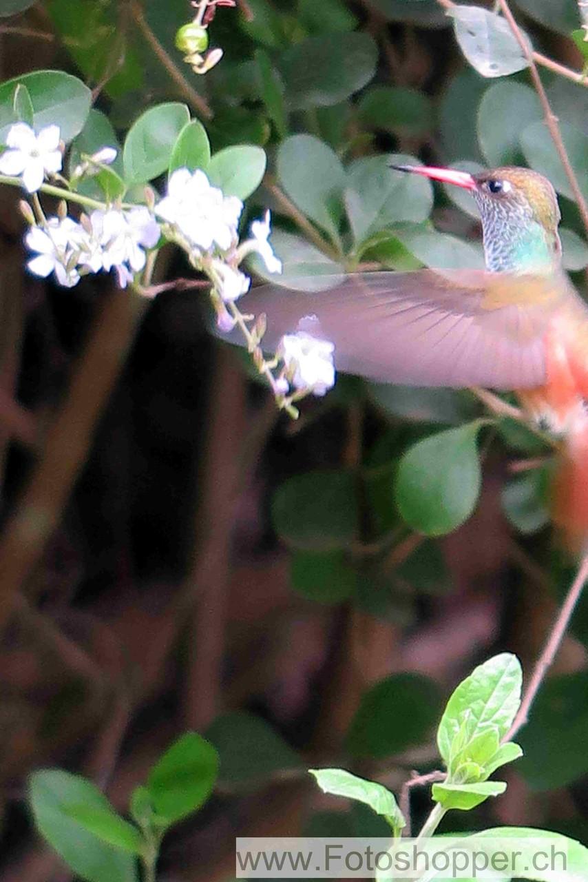 Glückstreffer für die Fotografin - ein Kolibri